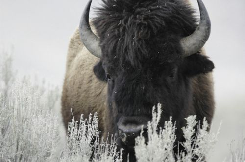 contrast. textures. bison in yellowstone by Steve Courson on Flickr.