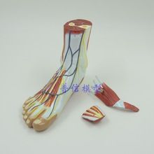 Foot anatomical model with hip joint, nervous system  professional  medical Science  teaching supplies //Price: $US $118.66 & FREE Shipping //