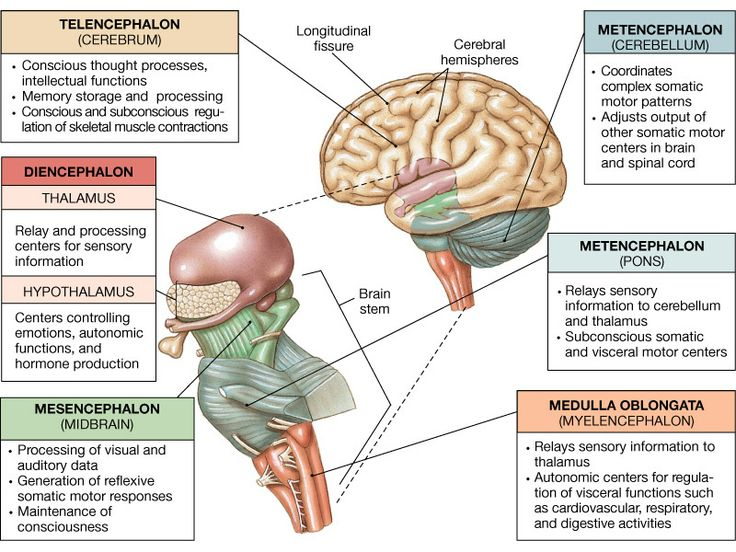 brain thalamus function - photo #6