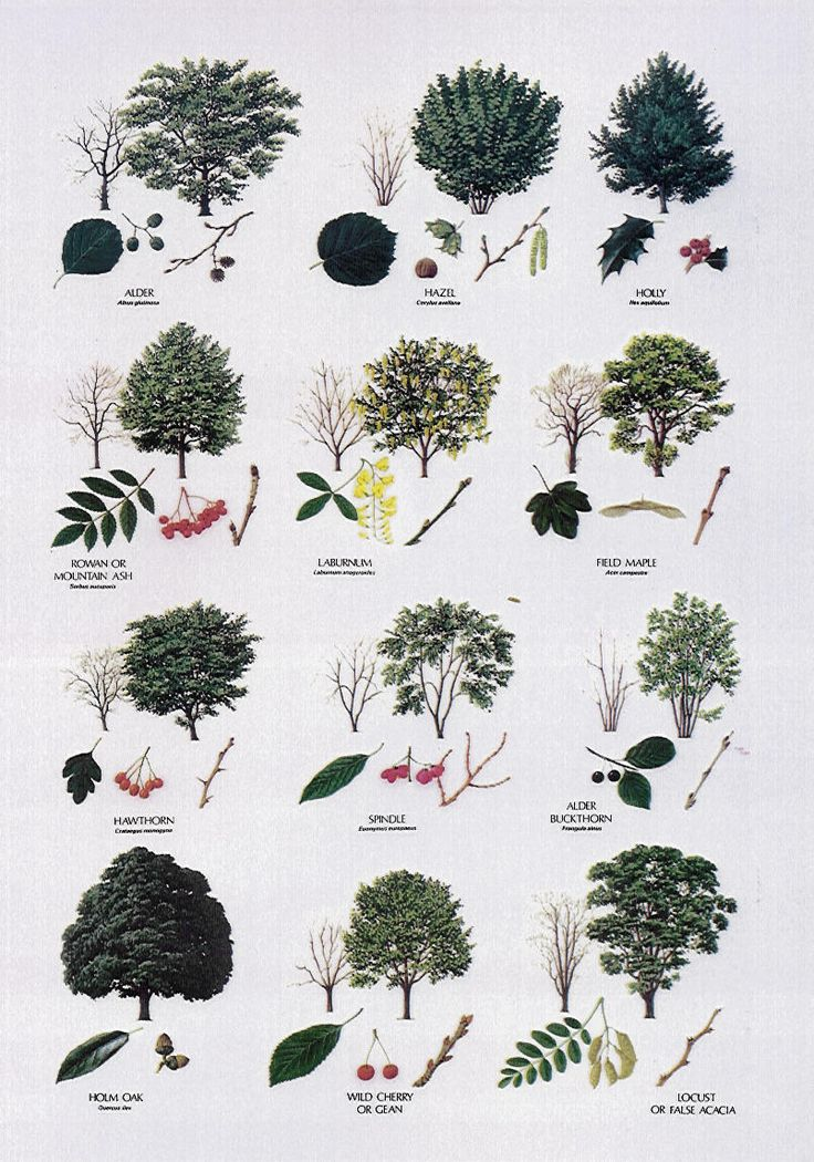 Image detail for -Broadleaved Trees Broadleaved Trees Broadleaved Trees