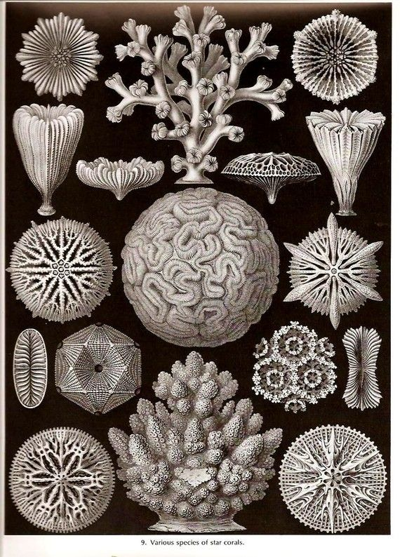 Ernst Haeckel 1974 Corals Art Print by NaturalistCollection, $5.00