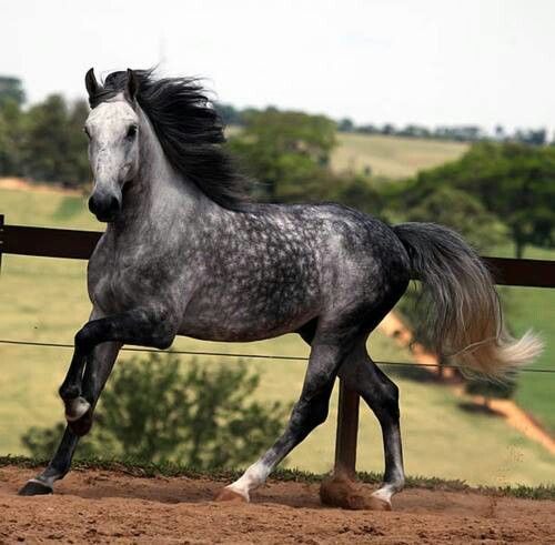 Horse Colours That You Never Knew Existed. Dalmation Spots ... |Dapple Grey Stallion
