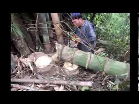 Giant Bamboo Biggest in Thailand 1- Published on Dec 20, 2013.  World's biggest bamboo and Biggest shoots of the Nan Bamboos in Thailand,Dendrocalamus giganteus'Nan' .Check out my Blog http://nanbamboo.blogspot.com/ bamboo Ferniture,giant bamboo garden in Nan.