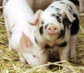 Свинарник влияет на развитие поросят