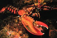 The American lobster, Homarus americanus, is a species of lobster found on the Atlantic coast of North America, chiefly from Labrador to New Jersey. It is also known as Canadian lobster, true lobster, northern lobster, Canadian Reds, or Maine lobster.