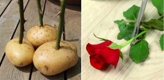 Femeile iubesc să primească trandafiri de la persoanele iubite, însă nu rezistă decât câteva zile și apoi se ofilesc. Dacă vrei să ai propriul trandafir la tine în casă și să ai flori tot timpul anului, îți propunem o idee … Continuă citirea →