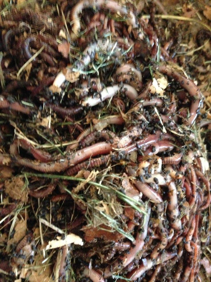 25 best ideas about nightcrawler worm on pinterest for Fishing worm farm