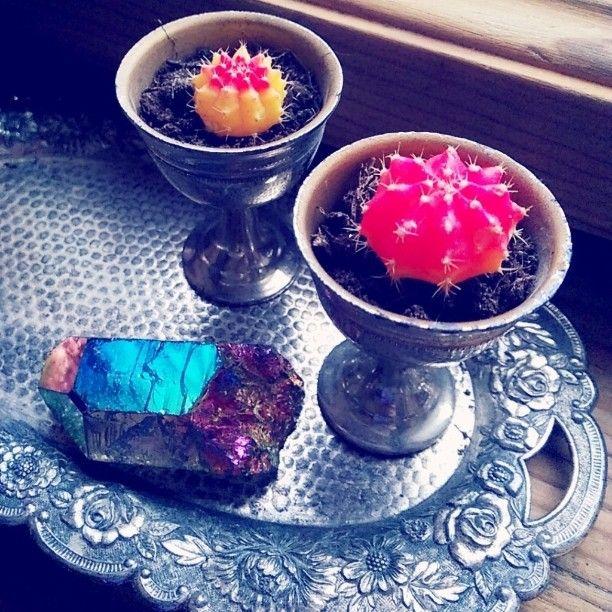 """Propagating grafted cactus """"moon cactus"""". titanium rainbow flame aura quartz crystal. #succulents"""