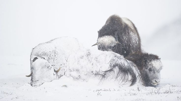 Credit: Roy Mangersnes/Rex Features After 30 minutes in a blizzard this female musk ox was completely snowed in, with her calf and a youngst...