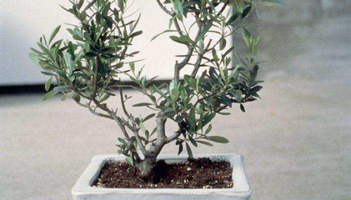 tailler un olivier les bons conseils astuces plantes