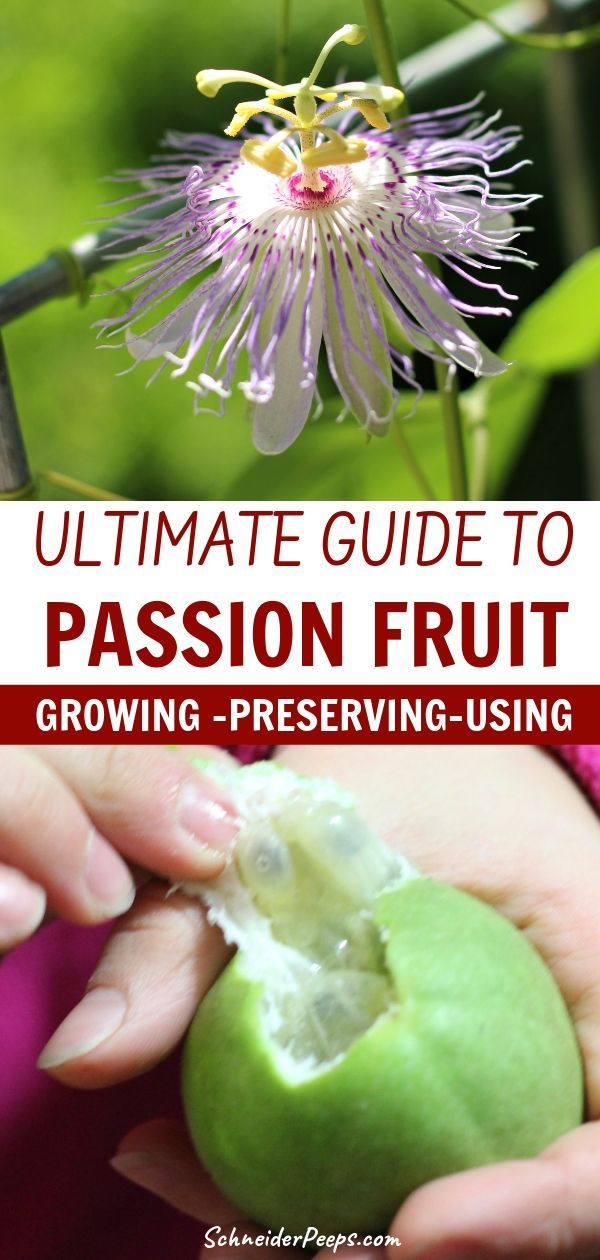 Growing And Using Passionflowers Aka Maypop Passion Flower Healing Herbs Fruit