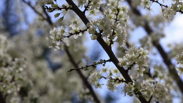blooming of fruit tree in spring