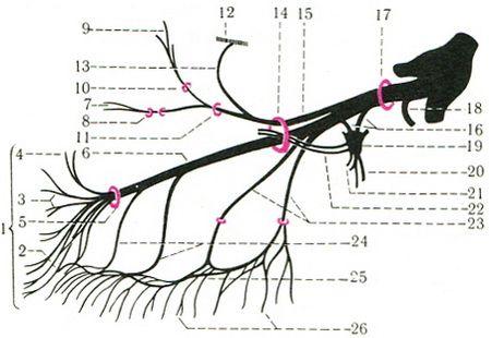 the branches of the maxillary nerve n. maxillaris scheme