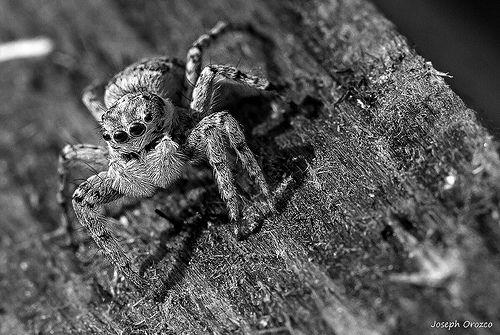 Araignée du jardin