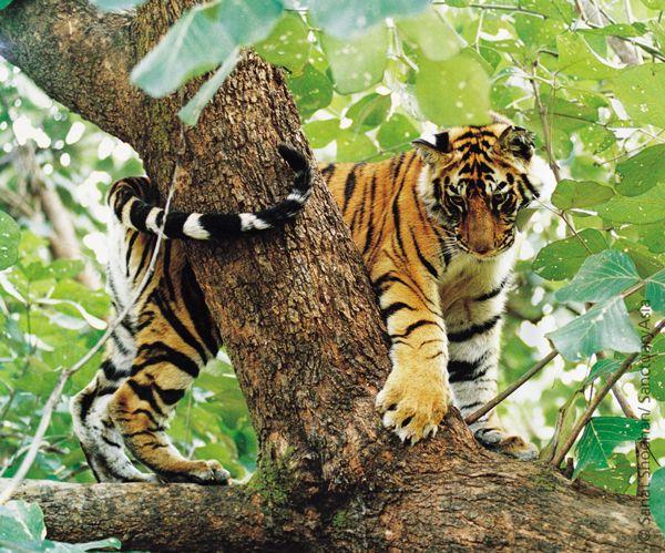 A frolicking Tiger cub. Image: Sanat Shodhan/Sanctuary Awards 2004.