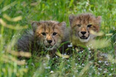 Baby cheetahs at Chitabe