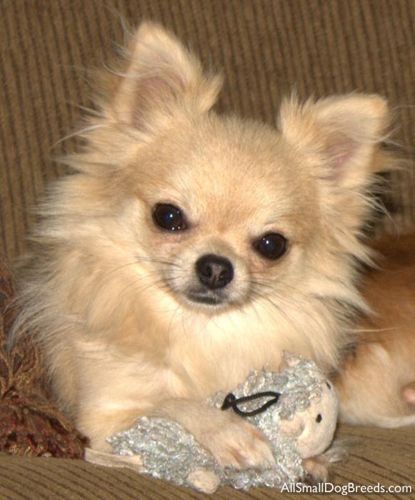 Small Dog Breeds | Odakota - Chihuahua (Long coat) - Small Dogs