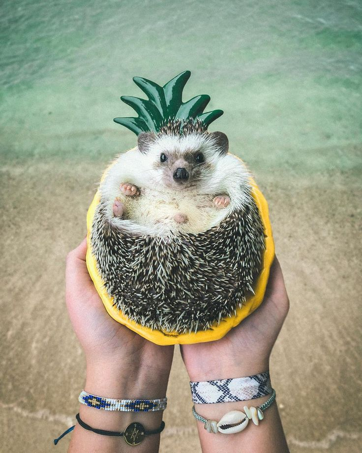 Mr Pokee The Hedgehog A L O H A Prickly Pineapple
