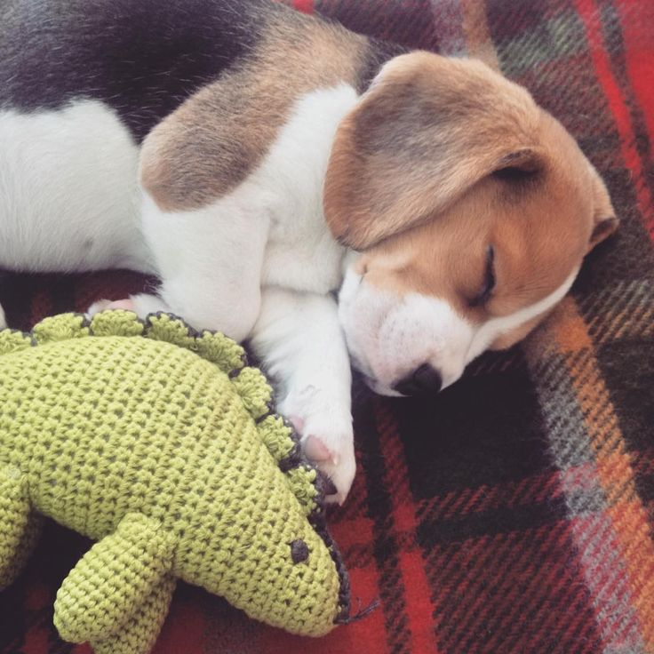 Klaus the beagle sleeping with Dylan the dinosaur toy.