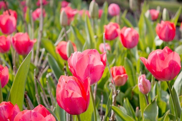 Tulips at Cheverny