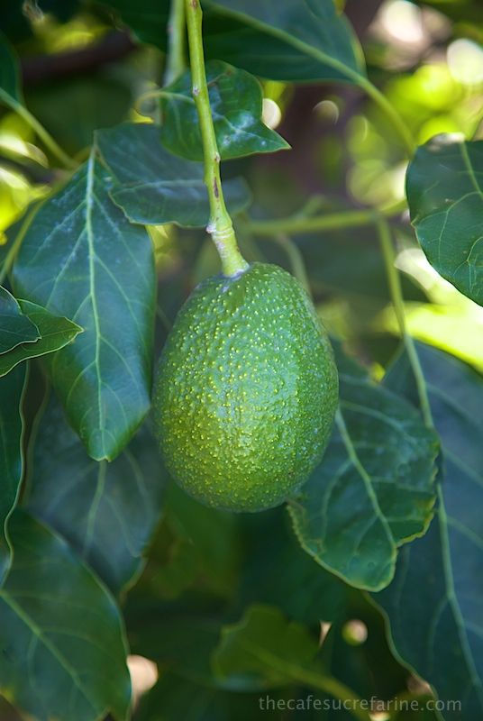 160 best images about pictures of avocado trees and plants on pinterest hass avocado tree. Black Bedroom Furniture Sets. Home Design Ideas