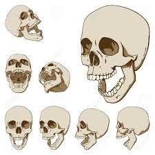 Resultado de imagen para craneo dibujo anatomico