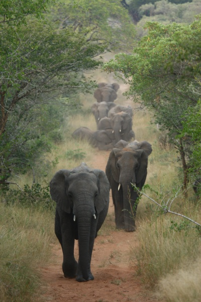 An elephant sighting at Phinda Game Reserve