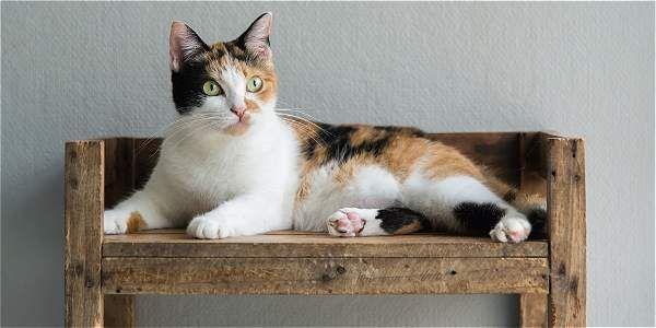 Así son las manchas de los gatos calicó. Archivo particular