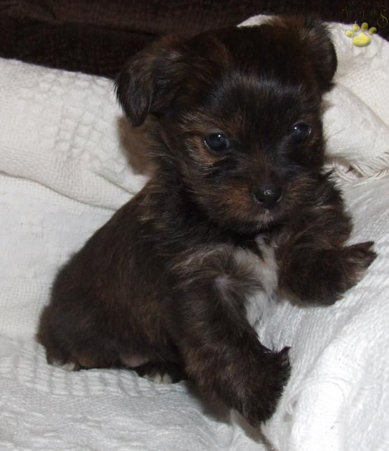 Sophie - Shorkie Puppy for Sale in Denver, PA | Lancaster Puppies