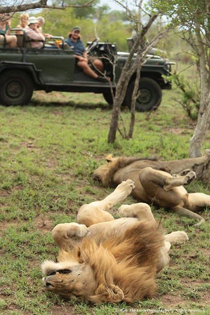 A special thanks to Angele Rouillard for posting this amazing picture taken at Umkumbe Safari Lodge! Marc and his guests were thoroughly entertained by the Fourways Males caught relaxing in the bush!