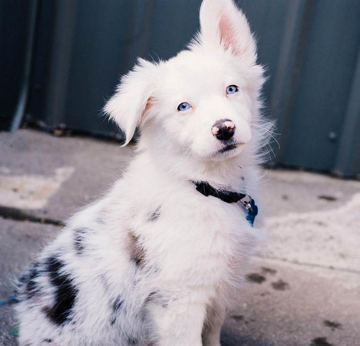 Amaterasu (Ammy) - White Australian Shepherd