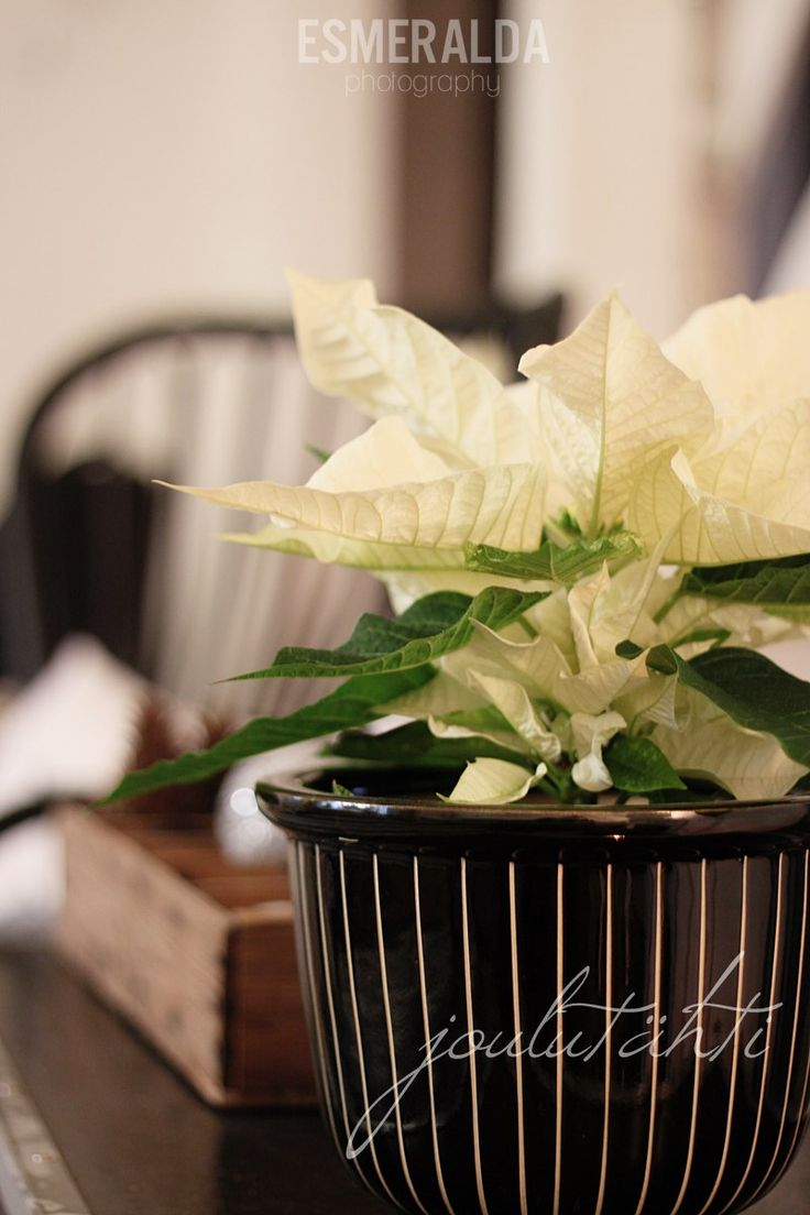 White flower for Christmas, Flora of China