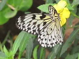 Hyviä perhoskukkia ovat syreenit, nauhukset, päivänkakkara, kuusamat, syysasteri ja kaunokit.Perhosille voi perustaa myös ruokinta-aseman, perhosbaarin:- Liuota punaviiniin tai olueen fariinisokeria, siirappia tai hunajaa. Lisää ripaus hiivaa.Perhoskalja pidetään hengissä lisäämällä siihen silloin tällöin sokeria ja hiivaa.Imeytä nektari pesusieneen tai rättiin ja laita se pieneen astiaan.Ripusta astia aurinkoiselle paikalle matalalle puun oksaan.Nesteen voi suihkuttaa myös pihapuun…
