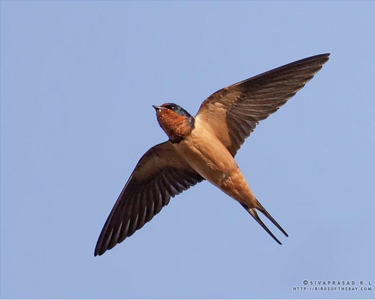 29) Barn Swallow