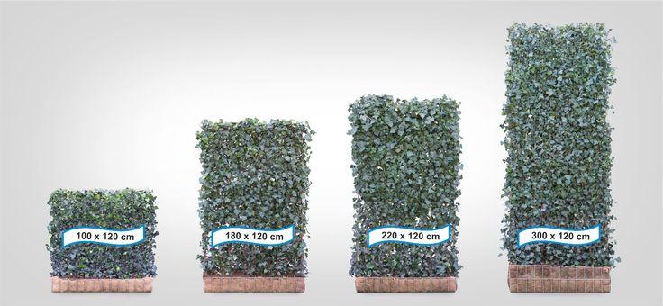 Efeu Hecke (12 Stück) - H 180 x B 120 cm - | Sichtschutz | Fertighecke | Efeu | Garten & Terrasse, Gartenzäune & Sichtschutzwände, Sicht- & Lärmschutzwände | eBay!