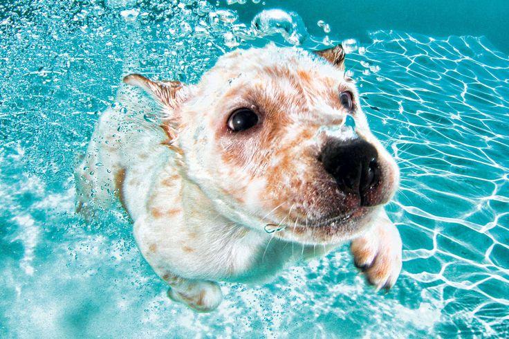 Labrador-Retriever-Mischling Corey (8 Wochen)
