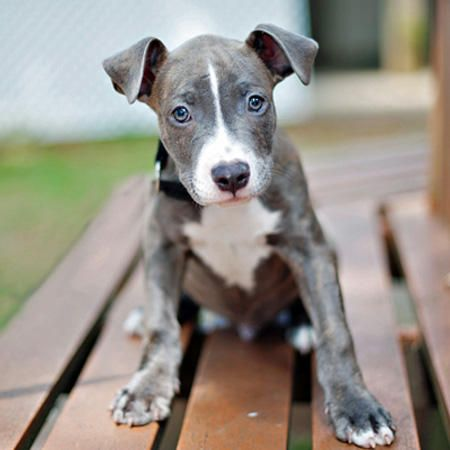 pit bull mix with terrier 14 best blue nose pit bull images on pinterest pit bull 214