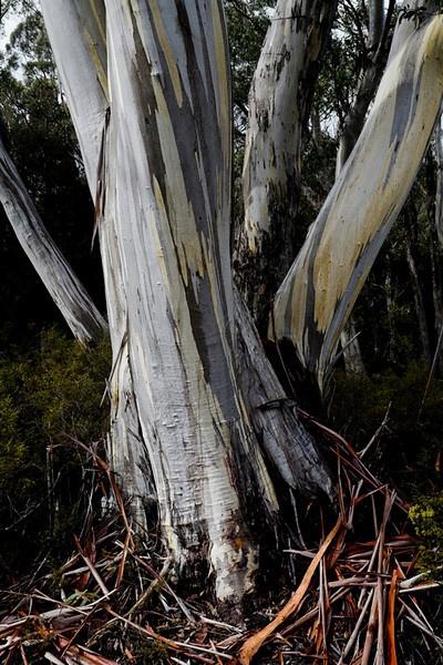 Eucalyptus tree beside the Overland Track, Cradle Mountain - Lake St Clair National Park, Tasmania.