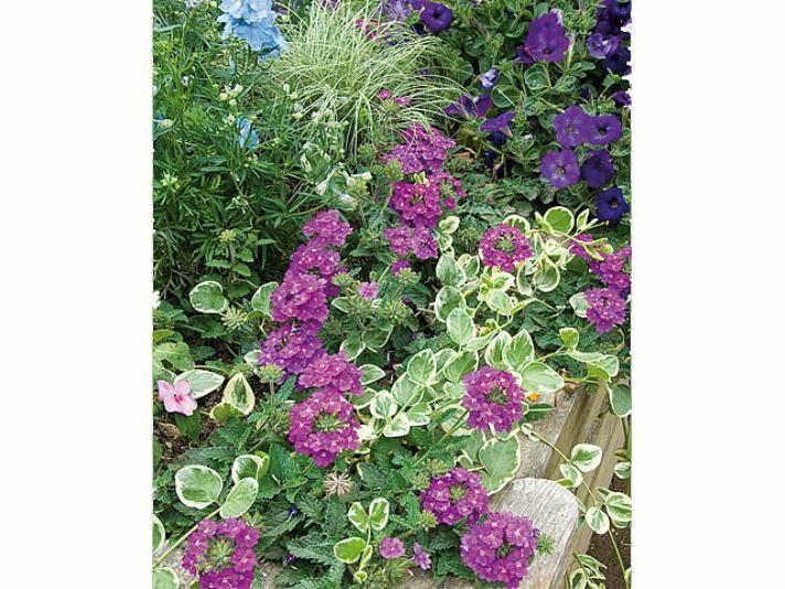 Installer au printemps un massif de pied-d'alouette, pervenche, pétunias et verveine - F. Marre - Rustica - Syngenta flowers