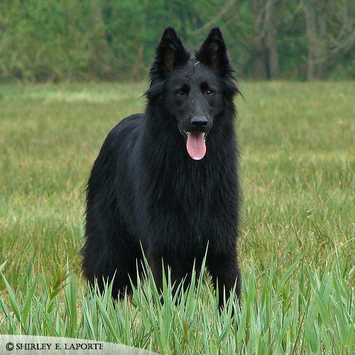 King German Shepherds long hair | King - Long Hair Shepherd by !ladygamerr on deviantART