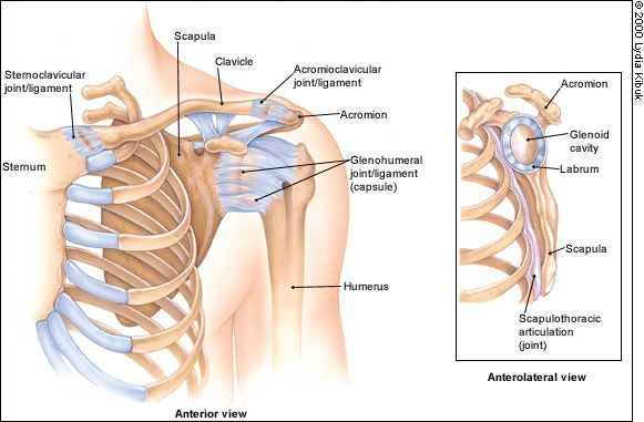 The Painful Shoulder: Part I. Clinical Evaluation. - May 15, 2000 - American Family Physician