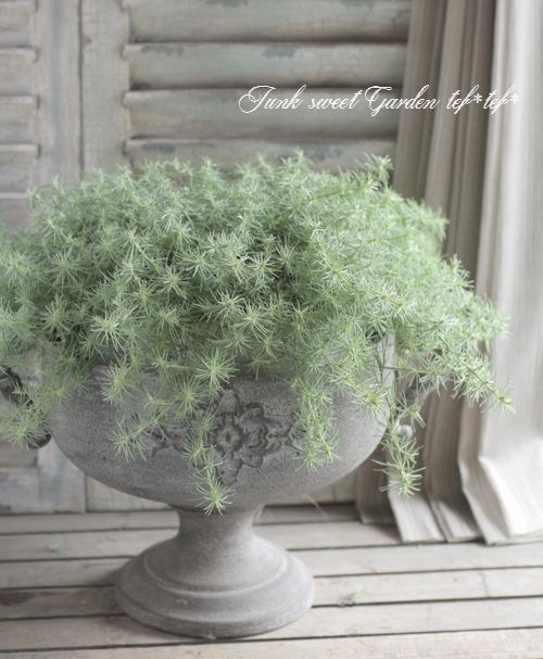 <i>Lotus bertheloti</i><BR><BR>ふわふわロータス<BR>『コットンキャンディ』   花苗【リーフ】     Junk sweet Garden tef*tef* ガーデニング雑貨・花苗