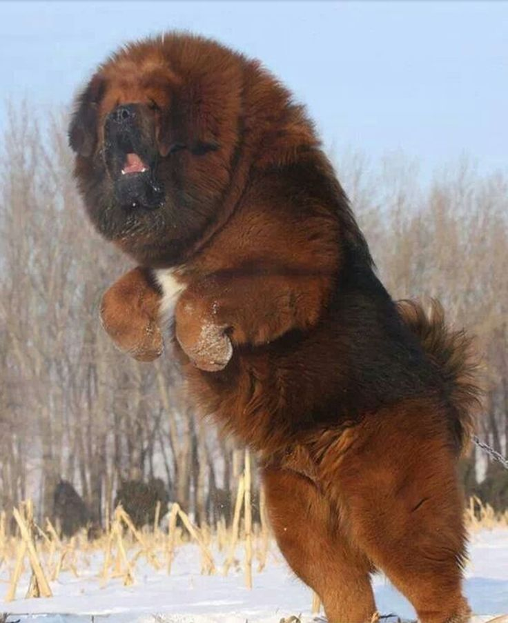There are over 300 dog breeds recognized worldwide, with most breeds falling into one of 7 breed groups. 20 Of The World's Largest Dog Breeds | Fluffy dogs, Huge