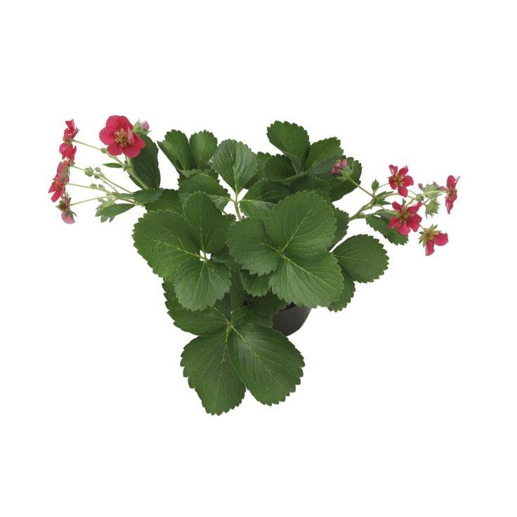 Felleskjøpet Jordbærplante remonterende