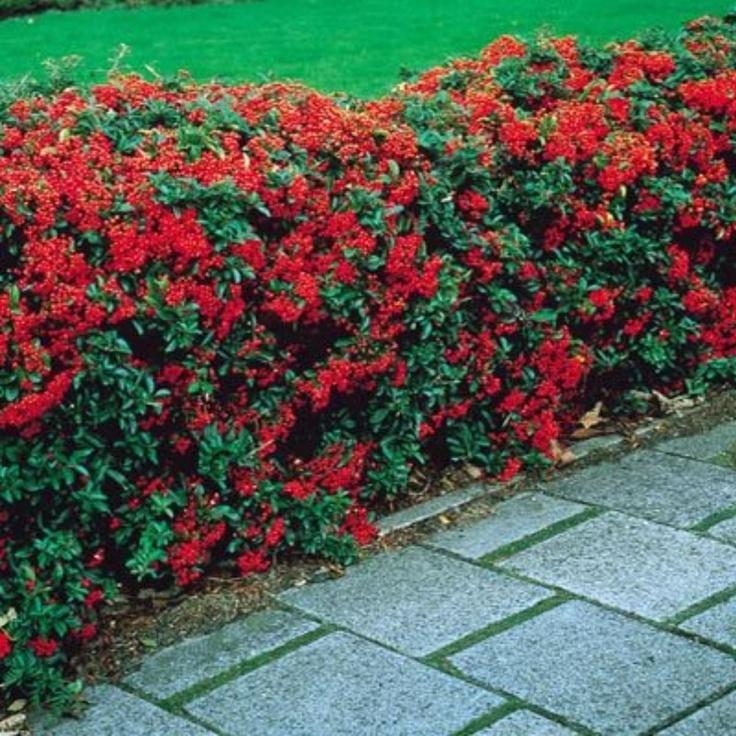 Pyracantha Shrub Northern Beauty Evergreen Foliage