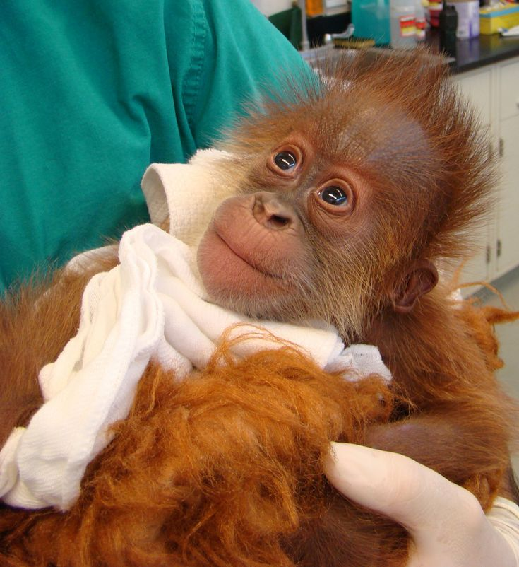 Sumatran Orangutan, Menar,i born at Audubon Zoo in New Orleans on June 10, 2009