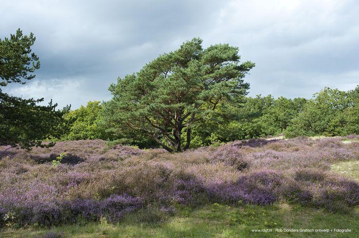 Picture: Rob Donders   Location: Bergen - The Netherlands - Bloeiende heiden bij Bergen NH.