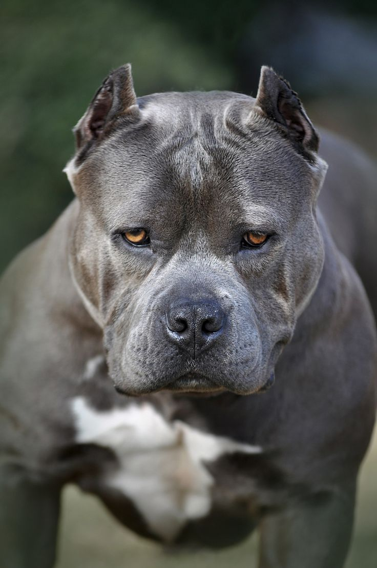 bluenose bulldog 379 best american exotic bully images on pinterest pit 7623