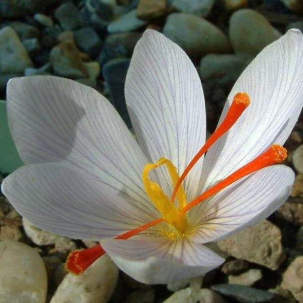 Crocus à safran blanc, à planter en été pour récolter votre safran en automne ! Vivace d'automne avec de grandes fleurs blanches. #saffron #safran #sativus #crocus #crocussativus à découvrir sur http://www.promessedefleurs.com/floraisons-automnales/crocus-safran-crocus-sativus/crocus-a-safran-blanc-p-322.html