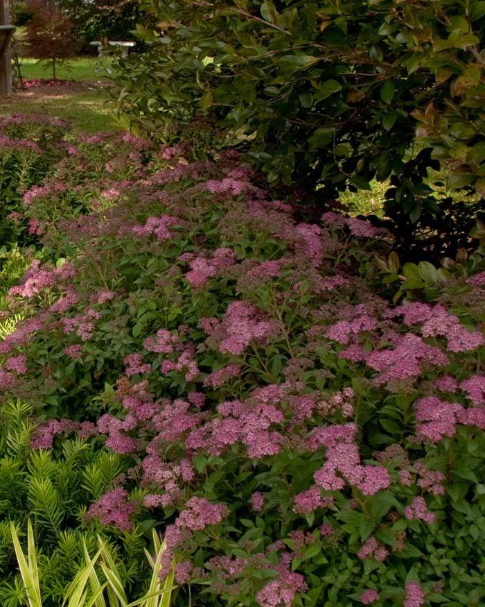 25 beautiful dwarf shrubs full sun ideas on pinterest for Full sun landscaping plants
